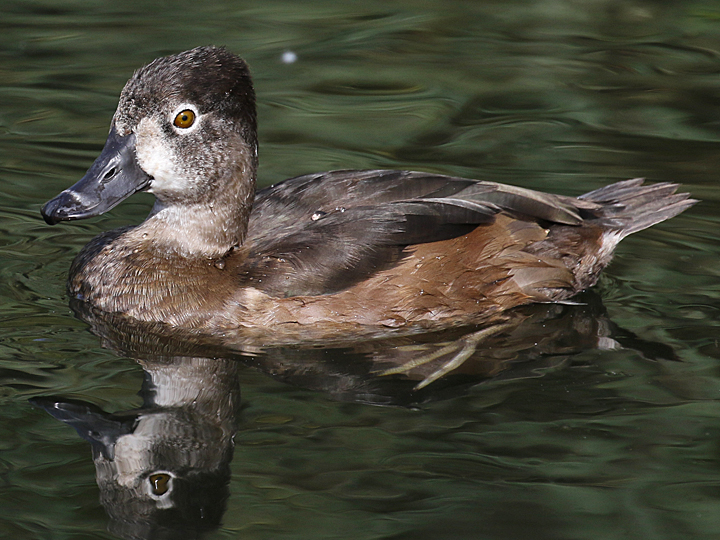 Ring-necked Duck RNDU