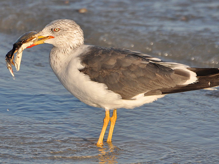 Lesser Black-backed Gull LBBG