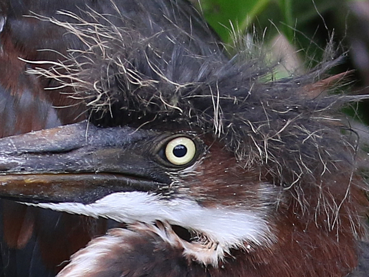 Tricolored Heron TRHE