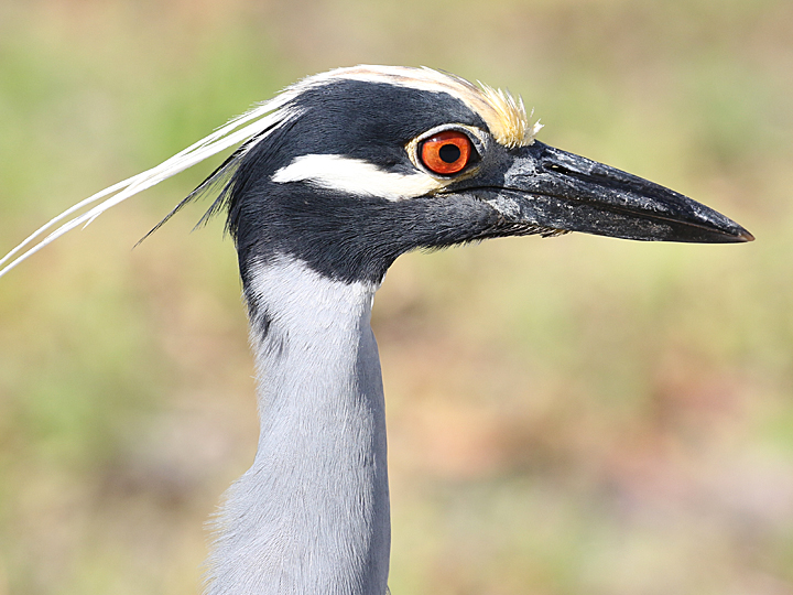 Yellow-crowned Night-Heron YCNH