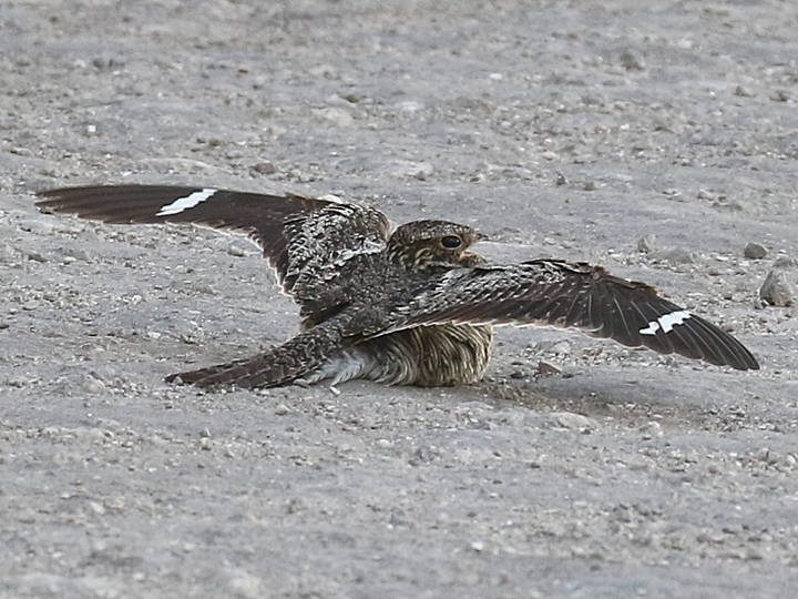 Common Nighthawk CONI