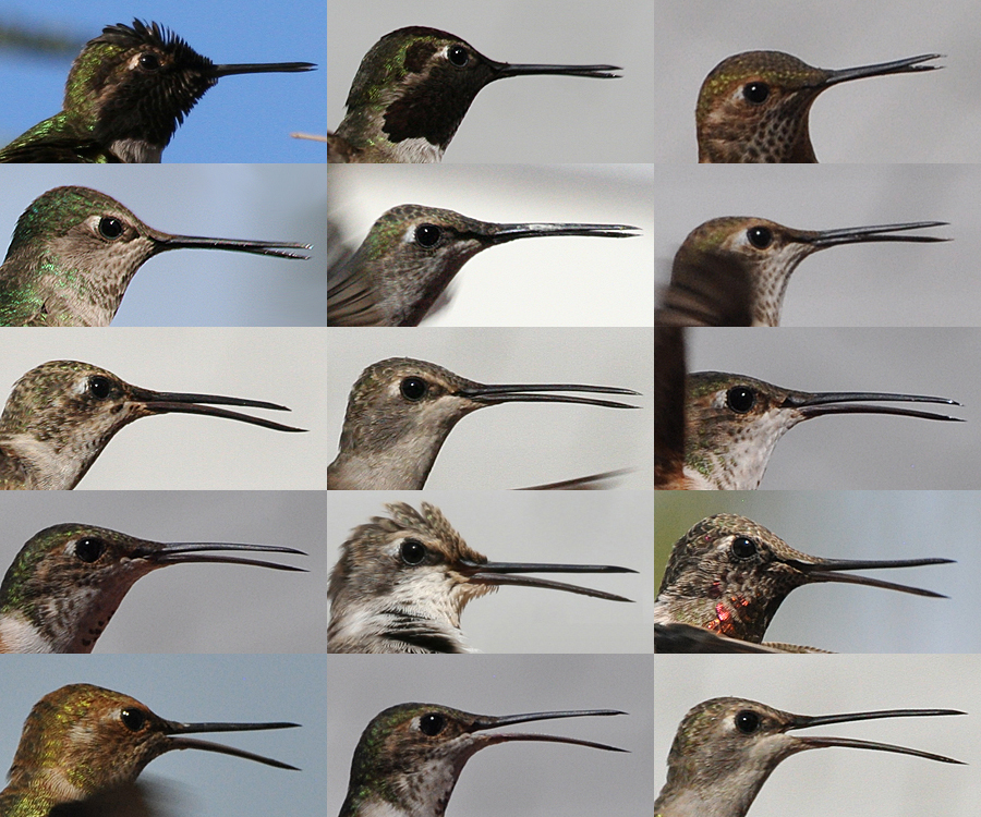 Hummingbird Beak Bends