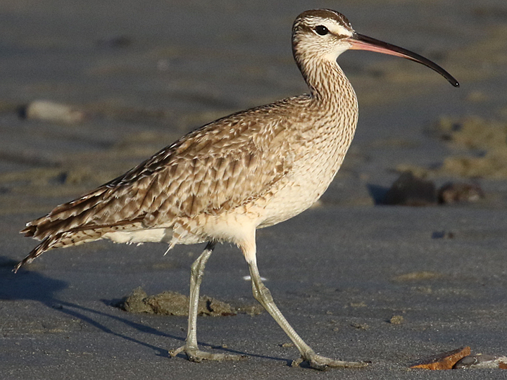 Whimbrel WHIM