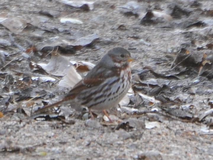 Fox Sparrow FOSP