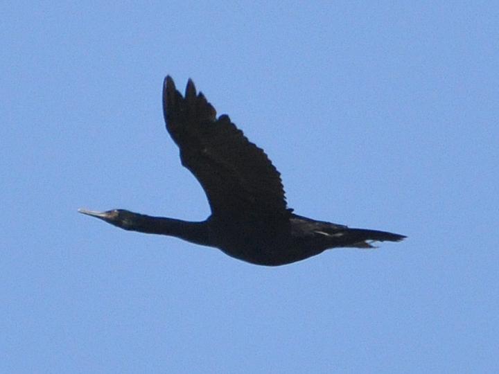 Pelagic Cormorant PECO