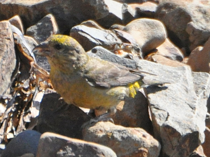 Red Crossbill RECR