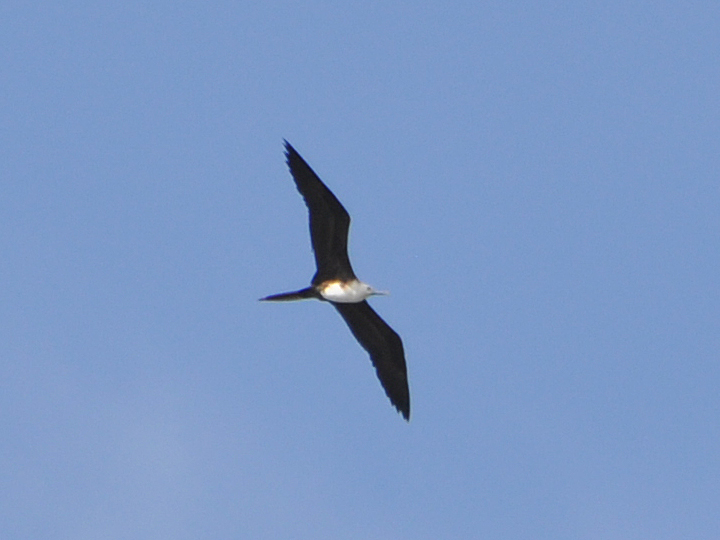Magnificent Frigatebird MAFR