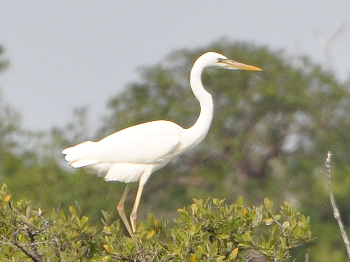 Great White Heron GWHE
