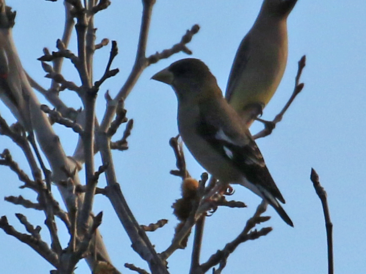 Evening Grosbeak EVGR