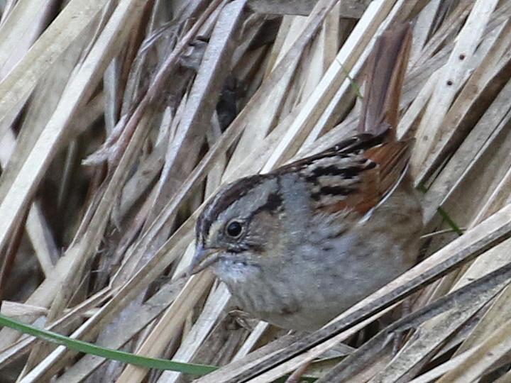 Swamp Sparrow SWSP