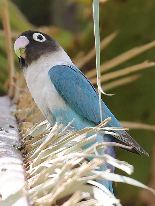 Yellow-collared Lovebird blue morph BMLO