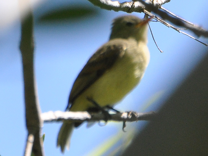 Northern Beardless-Tyrannulet NOBT