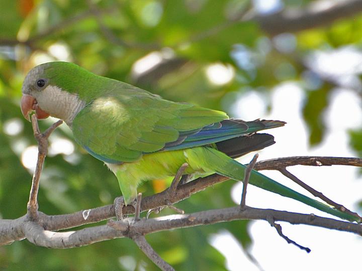 Monk Parakeet MOPA