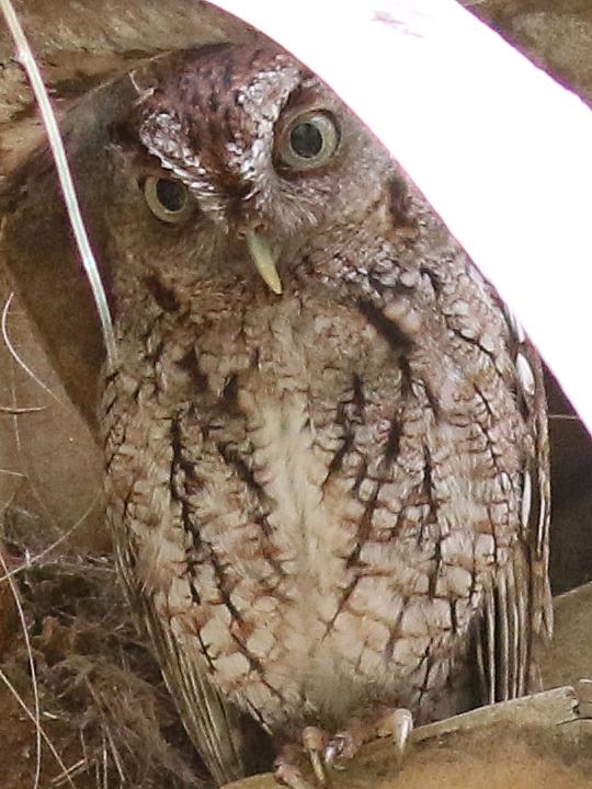 Eastern Screech-Owl EASO