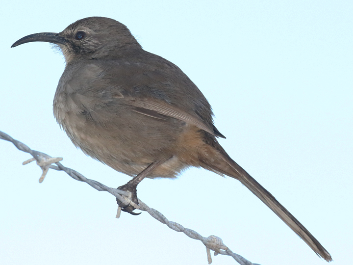 California Thrasher CATH