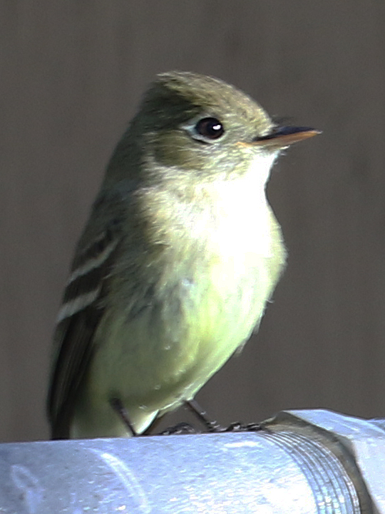 Pacific-slope Flycatcher PSFL