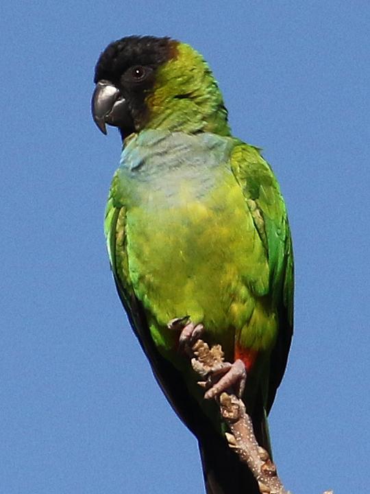 Nanday Parakeet NAPA