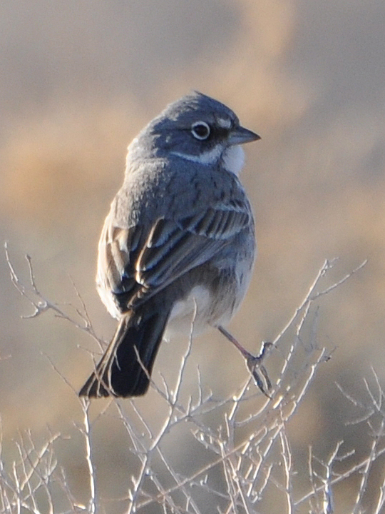 Sagebrush Sparrow SAGS