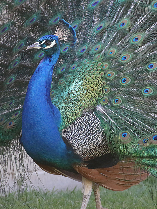 Common Peafowl COPE