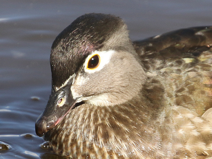 Wood Duck WODU