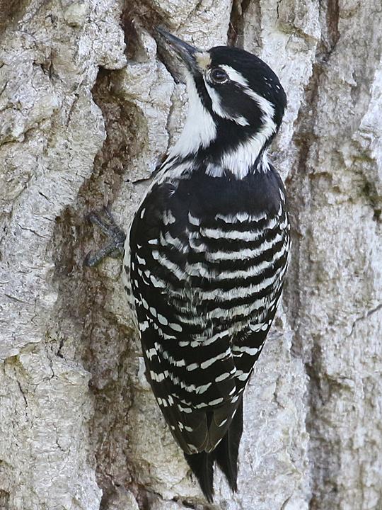 Nuttall's Woodpecker NUWO