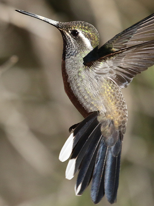 Blue-throated Hummingbird BTHH
