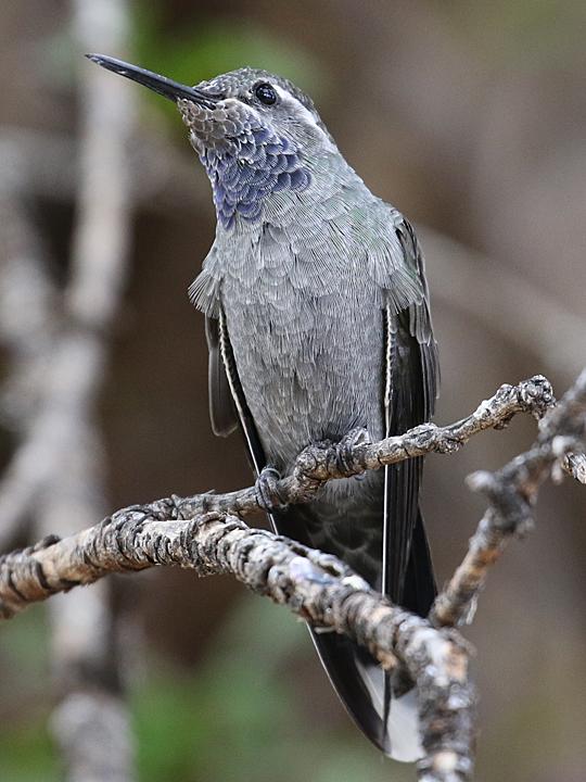 Blue-throated Hummingbird BTHH