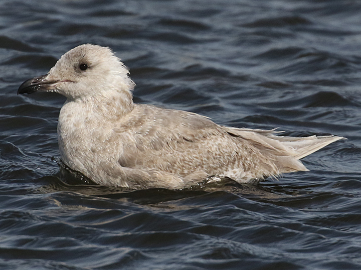 Glaucous-winged Gull GWGU