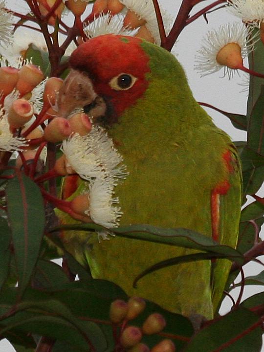 Red-masked Parakeet RMPA