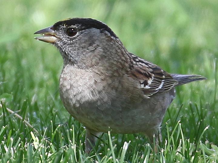 Golden-crowned Sparrow GCSP