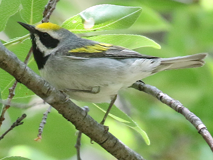 Golden-winged Warbler GWWA