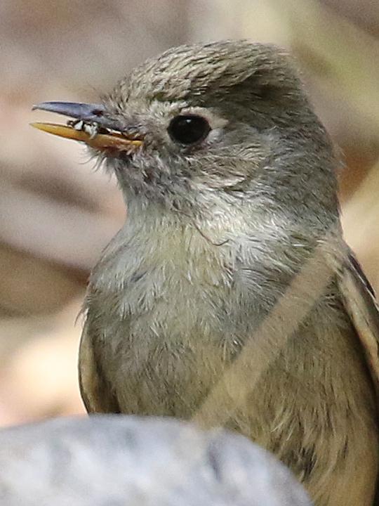 Pine Flycatcher PINF