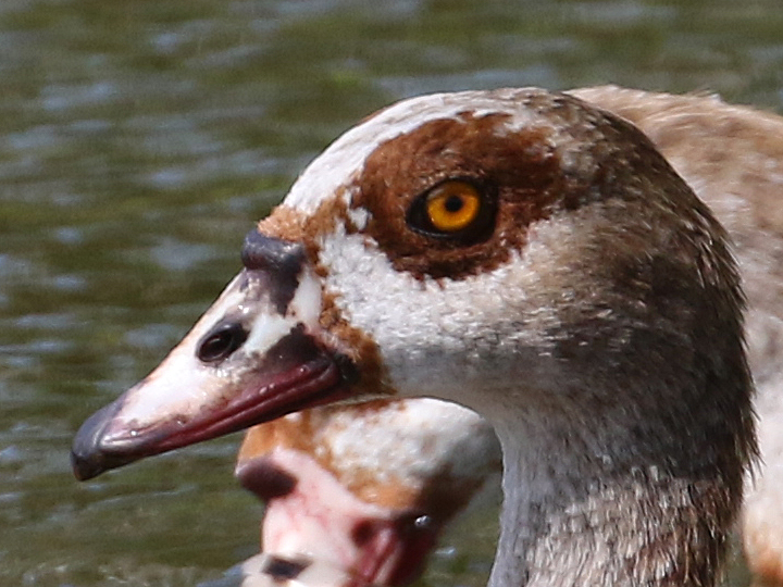 Egyptian Goose EGGO