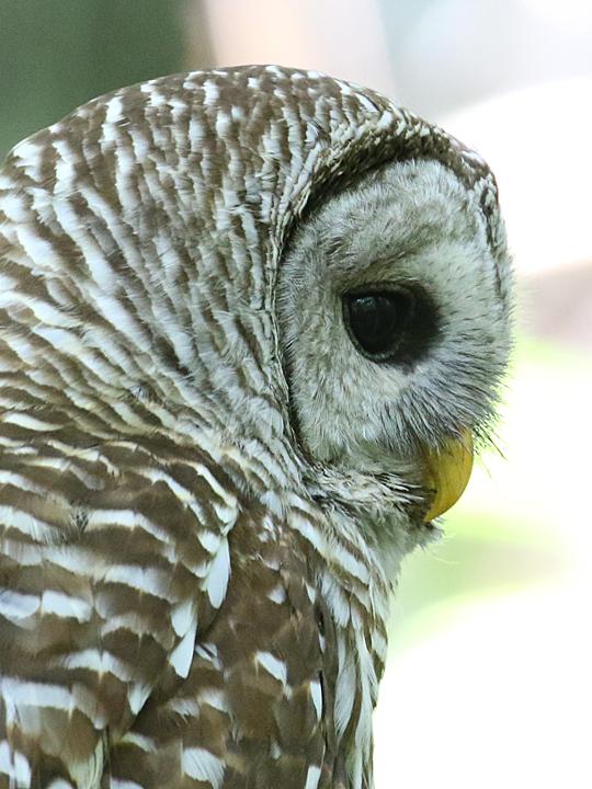 Barred Owl BADO