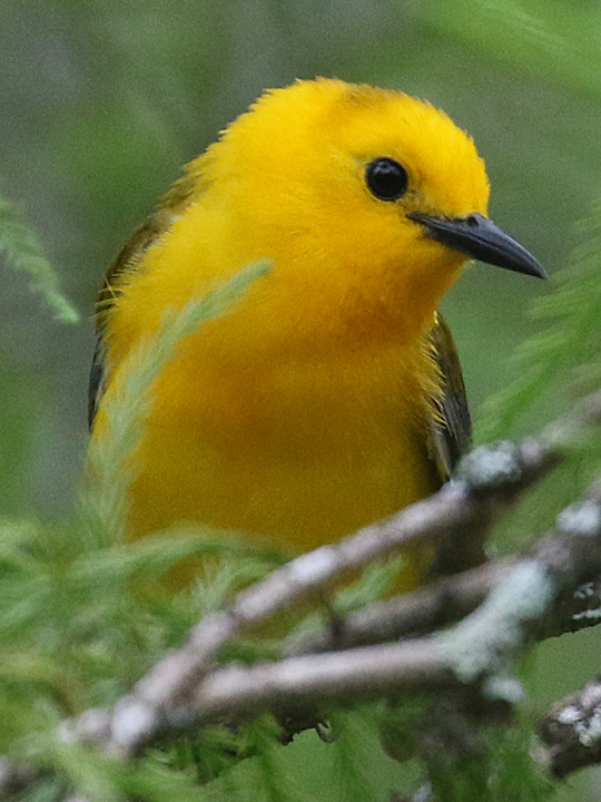 Prothonotary Warbler PROW
