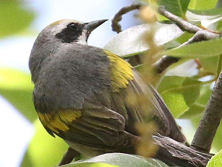 Golden-winged Warbler GWWA