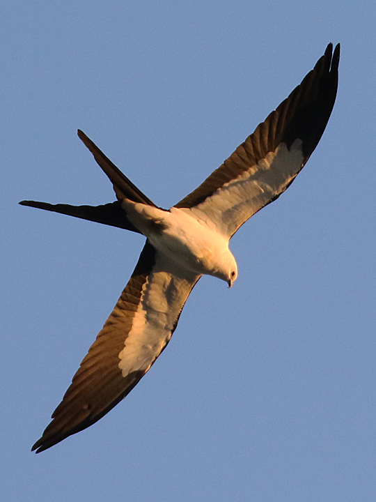 Swallow-tailed Kite STKI