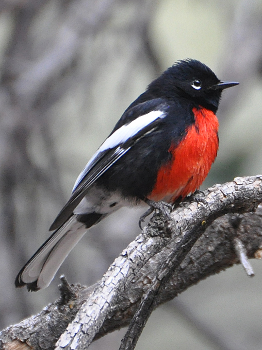 Painted Redstart PARE