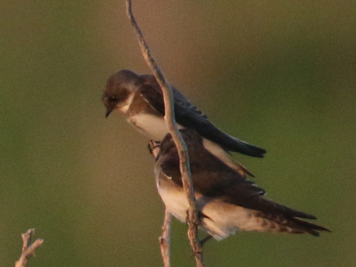 Bank Swallow BANS