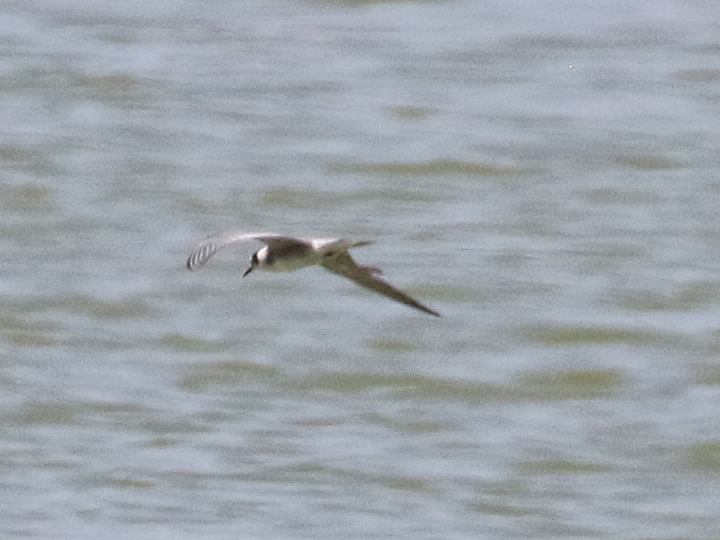 Black Tern BLTE
