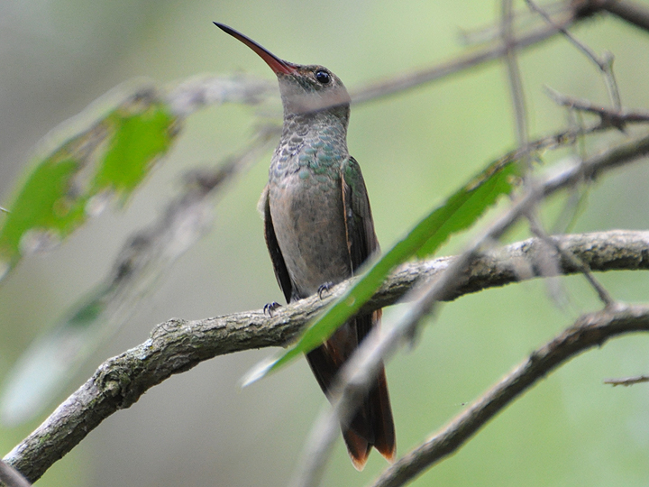Buff-bellied Hummingbird BBEH