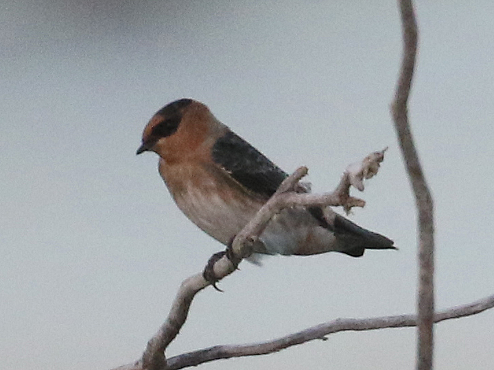 Cave Swallow CASW
