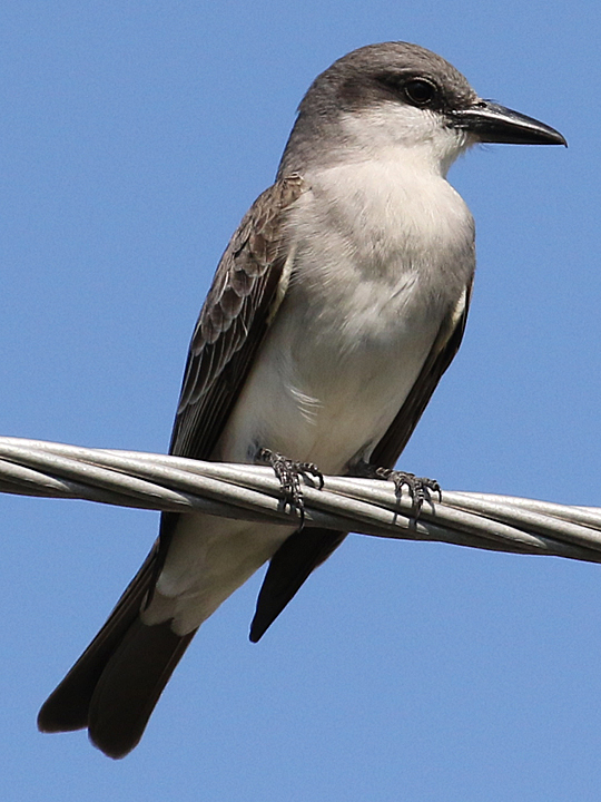 Gray Kingbird GRAK