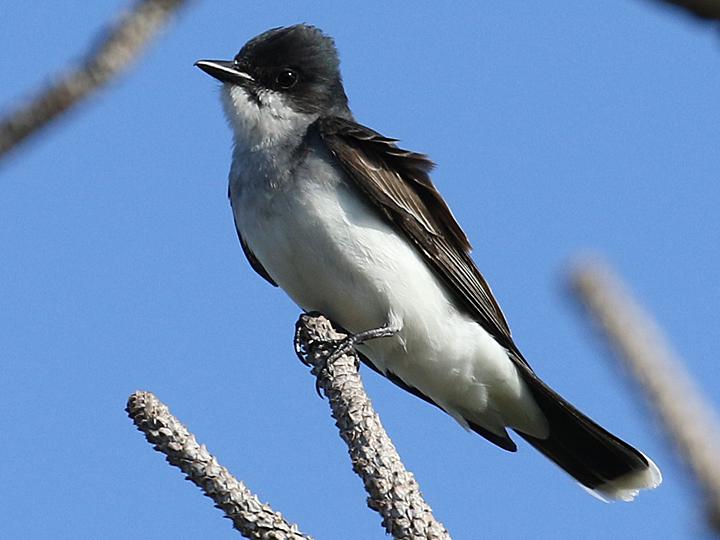 Eastern Kingbird EAKI