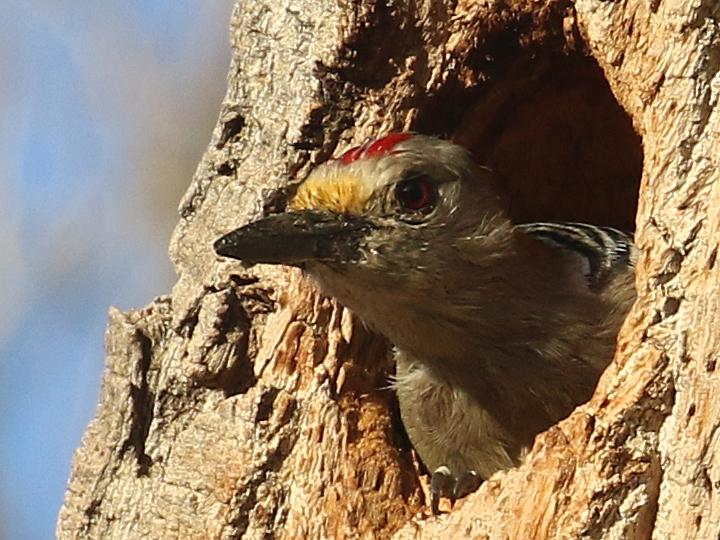 Golden-fronted Woodpecker GFWO