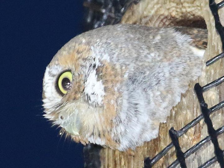 Elf Owl ELOW