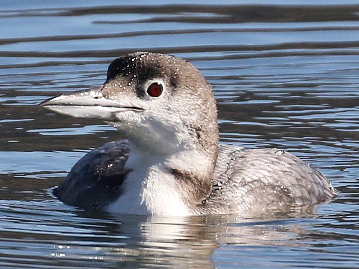Common Loon COLO