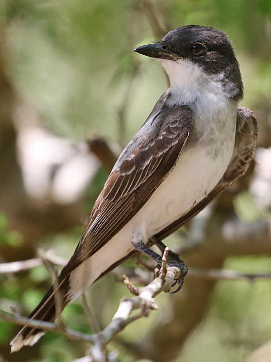 Eastern Kingbird EAKI