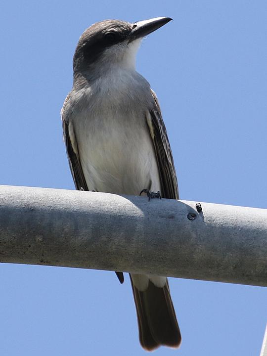 Gray Kingbird GRAK