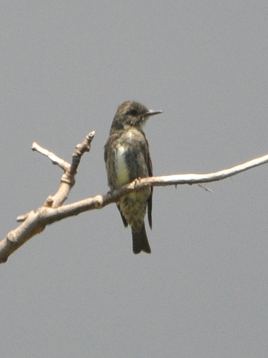 Olive-sided Flycatcher OSFL
